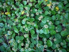 If you live in the south you know what this is....pennywort.  I have tons of the stuff in my yards and gardens.  It is very invasive.  But we can fight back.  My goats eat the stuff and I found out we can too!  Read this article (with recipe) by Green Deane http://www.eattheweeds.com/a-pennywort-for-your-thoughts-2/