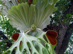 Platycerium superbum - samambaia Chifre-de-veado