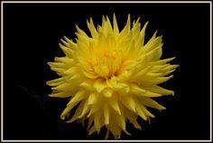 a Lovely dahlia.
