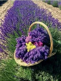 Purple flowers are a great way to add interest to your yard or landscape. Here are Different Types of Purple Flowers for Your Garden and Purple Flowers Meaning. Lavender Cottage, Lavender Garden, Lavender Scent, Lavender Fields, Lavender Color, Lavender Flowers, Purple Flowers, Beautiful Flowers, Purple Garden