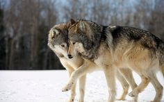 's Wolf And Bear Hunting Policies Ignore The Uncertainties Beautiful Wolves, Animals Beautiful, Wolf Background, Animals And Pets, Cute Animals, Husky, Wolf World, Two Wolves, White Wolves
