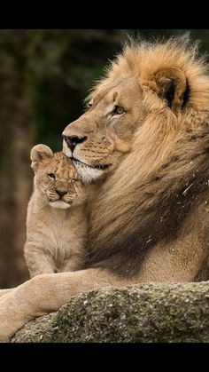 """Male lion with youngster .     (""""Gorgeous."""")"""