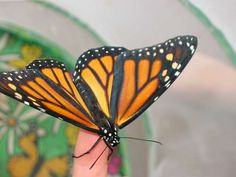 Monarch Butterflies -- Egg to Butterfly