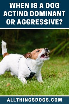 When the dog is acting dominant or aggressive, he is not a happy dog. An aggressive dog will have his tail up. Their ears are perked and alert. Read on to find out how to respond to such behavior Dog Things, Things To Come, Dog Body Language, Terrier Breeds, Aggressive Dog, Dog Behavior, Happy Dogs, Dog Training, How To Find Out