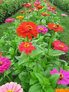 Zinnias SCREAM summer. Remember these by my bed in a little vase as a child. Remind me of mom.
