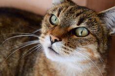 European cat #yummypets