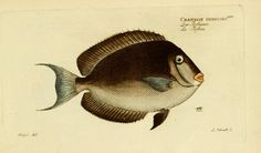 v.1 (Plates) - Ichthyologie; ou, Histoire naturelle des poissons : - Biodiversity Heritage Library