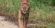 US Government: Give Panthers Room To Roam! Florida panthers once prowled and flourished in woodlands and swamps throughout the Southeast. But as the region was settled, fear of these solitary, secretive predators led to wanton killing, and development claimed their habitat. Today, the panther is recognized as Florida's official state animal, but only 100 to 160 of the big cats remain in a single population in south Florida. Read more