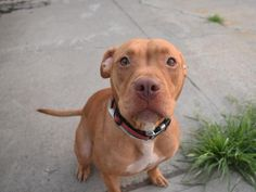 SAFE❤️❤️ 7/27/16 Brooklyn Center RUTH – A1081392 FEMALE, TAN / WHITE, PIT BULL MIX, 8 mos STRAY – STRAY WAIT, NO HOLD Reason STRAY Intake condition EXAM REQ Intake Date 07/15/2016, From OUT OF NYC, DueOut Date07/18/2016,