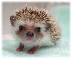 Hedgehog! Omg I want one so bad.