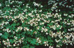 Bigroot Geranium info. grows to 1' & ok for shady area. Nice informal ground cover...self seeding.