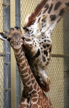 A New Baby Giraffe (Trevor) for Cleveland Metroparks Zoo! _ The eldest female Masai giraffe at Cleveland Metroparks Zoo has a new calf to raise. Lindi, 26, gave birth on July 11 in the giraffe barn to a male calf named Trevor. Trevor is the first successful offspring for father, Travis, 4, who came to Cleveland in 2008 from the San Diego Zoo.