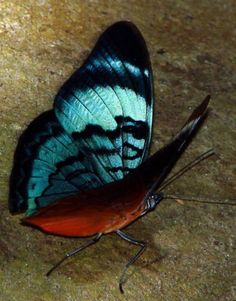 Gorgeous looking butterfly. Butterfly Photos, Butterfly Kisses, Butterfly Wings, Butterfly Colors, Butterfly Chrysalis, Cute Creatures, Patterns In Nature, Cute Animal Pictures, Naturally Beautiful
