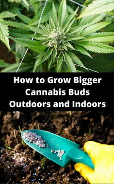 How to Grow Bigger Cannabis Buds Outdoors and Indoors