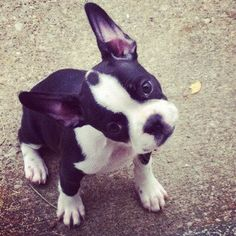The love of my life. Princess Leia. Frenchton- 1/2 French bulldog, 1/2 Boston terrier= a whole lot of adorable.