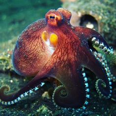 Monterey Bay Aquarium : New post on montereybayaquarium Octopus Photography, Underwater Photography, Octopus Tattoos, Octopus Art, Monterey Bay Aquarium, Coconut Octopus, Octopus Pictures, Underwater Sea, Ocean Creatures