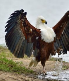 """Archangel eagle"" African Fish-Eagle. African Fish Eagles (Haliaeetus vocifer) are found throughout most of Sub-Saharan Africa. (Rated ""Least Concern"" (LC) on the IUCN Red List.)"