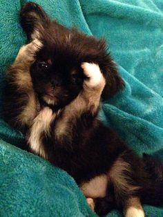 Cixi cutest puppy ever! #Pekingese