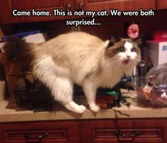 You Got A Free Cat - Cat memes - kitty cat humor funny joke gato chat captions feline laugh Cute Funny Animals, Funny Animal Pictures, Funny Cute, Cute Cats, Hilarious, Animal Pics, Funny Photos, I Love Cats, Crazy Cats