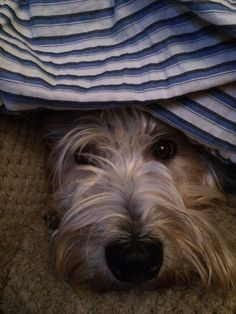 """Safe from the storm under dad's pyjamas."""" Bramble the Wheaten Terrier wasn't fond of rain. Wheaten Terrier Mix, Animals And Pets, Cute Animals, Farm Dogs, Bramble, Westies, Beautiful Dogs, Terriers, Pyjamas"""