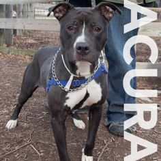 Acura is a 1yr old female terrier pit bull mix. Friendly, sweet & playful - meet her at 184 Verona St.