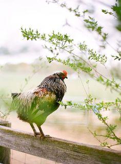 Chicken | The Farm Life