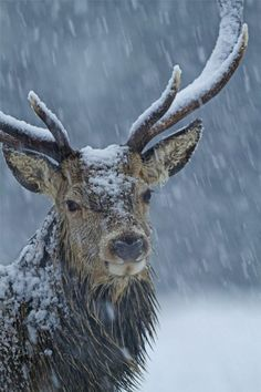 Red deer in winter storm Brian Chard - The red deer (Cervus elaphus) is one of the largest deer species. The red deer inhabits most of Europe, the Cau Vida Animal, Mundo Animal, Nature Animals, Animals And Pets, Cute Animals, Wild Animals, Wildlife Nature, Animals In Snow, Baby Animals
