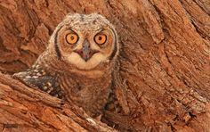 Spotted Eagle-Owl (by Johann Visser).