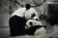 Bao Bao and Mei Xiang | Flickr - Photo Sharing!