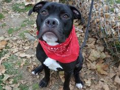 TO BE DESTROYED - 11/18/14 Manhattan Center   My name is KIWI aka NENA. My Animal ID # is A1003465. I am a spayed female black and white am pit bull ter and boxer mix. The shelter thinks I am about 1 YEAR 5 MONTHS old.  I came in the shelter as a RETURN on 10/27/2014 from NY 10021, owner surrender reason stated was NEW BABY.