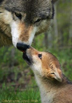 """Wolf With Her Pup:  """"Respect is for those who deserve it ~ NOT for those who demand it!"""""""
