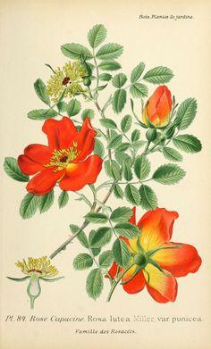 gravures fleurs de jardin - gravure de fleur de jardin 0171 rose capucine - rosa lutea var punicea - Gravures, illustrations, dessins, images