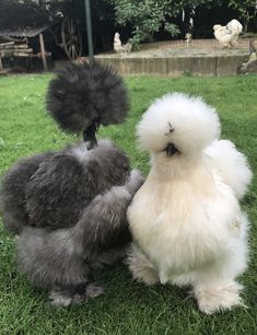 Silkie chicken and showgirl Beautiful Chickens, Beautiful Birds, Animals Beautiful, Fancy Chickens, Urban Chickens, Silkie Chickens, Chickens And Roosters, Backyard Chicken Coops, Chickens Backyard