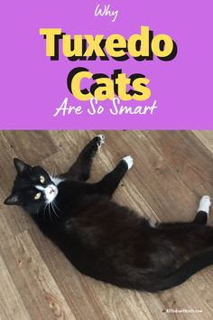 What are tuxedo cats and why are they so smart. Discover all about tuxedo cats and what makes them such fun and highly intelligent pets #whataretuxedocats #tuxedocats #catbreeds #blackandwhitecat #blackcatbreeds Short Hair Cat Breeds, Black Cat Breeds, Short Hair Cats, Cute Baby Cats, Tuxedo Cats, Unusual Animals, Russian Blue, British Shorthair, All About Cats