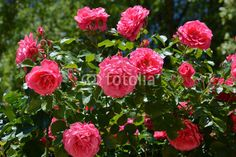 large shrub roses