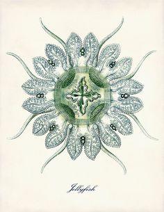 Vintage Ernst Haeckel Aqua Hued Medusa Jellyfish Victorian Era Science Illustration                                                                                                                                                      Más
