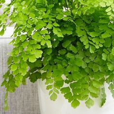 Buy maidenhair fern Fragrans Adiantum raddianum Fragrantissimum - A wonderful plant for a larger terranium, kitchen or bathroom.: pot - tall: Delivery by Crocus Indoor Plant Wall, Indoor Plants, Maidenhair Fern, Ferns, Container Gardening, Garden Plants, Future House, Oasis, Flowers