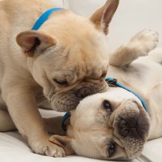 French Bulldog Kisses