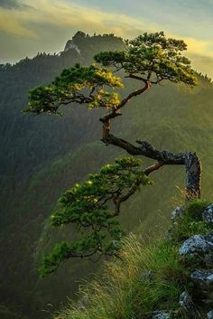 Photograph Mountain bonsai by Michał Połowiński on Relict , 500 year old pine on Sokolica in Pieniny taken at sunset. Chinese Mountains, Unique Trees, Tree Art, Nature Pictures, Amazing Nature, Beautiful Landscapes, Beautiful Landscape Photography, Nature Photography, Scenery