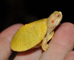 Albino Red Eared Slider I want one! Baby Sea Turtles, Cute Turtles, Red Eared Slider Turtle, Rare Albino Animals, Baby Animals, Cute Animals, Tortoise Turtle, Turtle Love, Reptiles And Amphibians