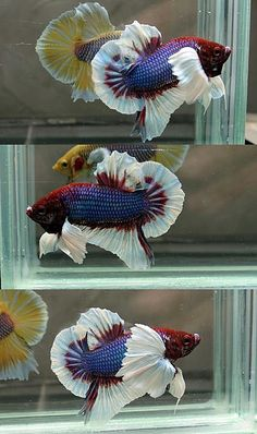 Look at this gorgeous, fat, white-finned,  #beautifulbettafish