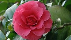 Gardening Australia - Fact Sheet: Camellias in Bloom - Home Decorations Ideas Garden Spaces, Flower Garden, Bloom, Camellia, Plants, Garden, Rose, Flowers, Garden Plants