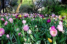 Smiling tulips