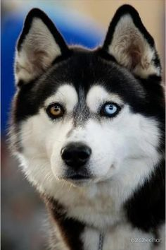 Siberian Husky ... eyes are almost hypnotic!