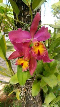 Planting Shrubs, Planting Flowers, Beautiful Flower Arrangements, Beautiful Flowers, Exotic Flowers, Yellow Flowers, Orquideas Cymbidium, Plantas Bonsai, Cattleya Orchid
