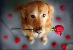meu melhor amigo, nem ele foi capaz de esquecer 12 de junho dia dos namorados cheguei em casa e olha que ele me trouxe rosas...antes com um cachorro do que com os cachorros.