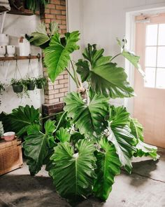 You Need Gardening Insurance For Anyone Who Is A Managing A Gardening Organization Philodendron Giganteum Fancyfreenursery - Plants - Fleurs - Plantes - Jungle - Houseplants - Plantes Vertes - Cactus - Ficus - Monstera Hydroponic Gardening, Container Gardening, Hydroponics, Indoor Gardening, Organic Gardening, Plants Indoor, Coffee Grounds For Plants, Vertical Garden Wall, Ficus