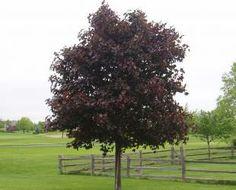 Prairie Splendor Maple