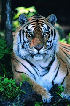 Tigre!