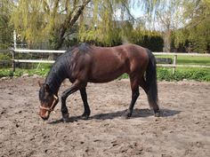 My horse from Tjsechie. Haflo